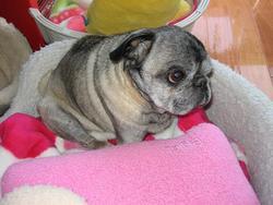 わが家の愛犬の1匹、パグ