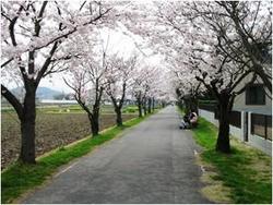 2005年4月8日七分咲きの桜並木