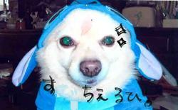 芝犬ルビー!?